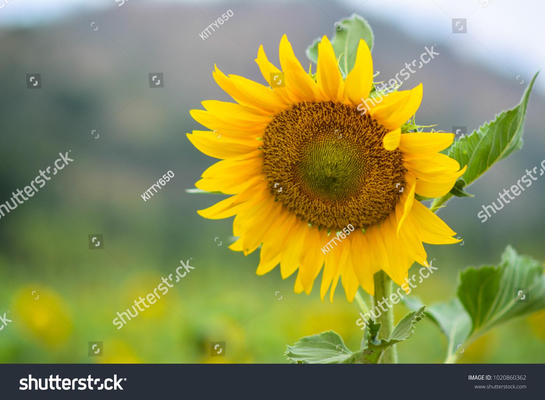Sunflower Seeds Closeup Nature Farm Beautiful Flower Yellow Colour