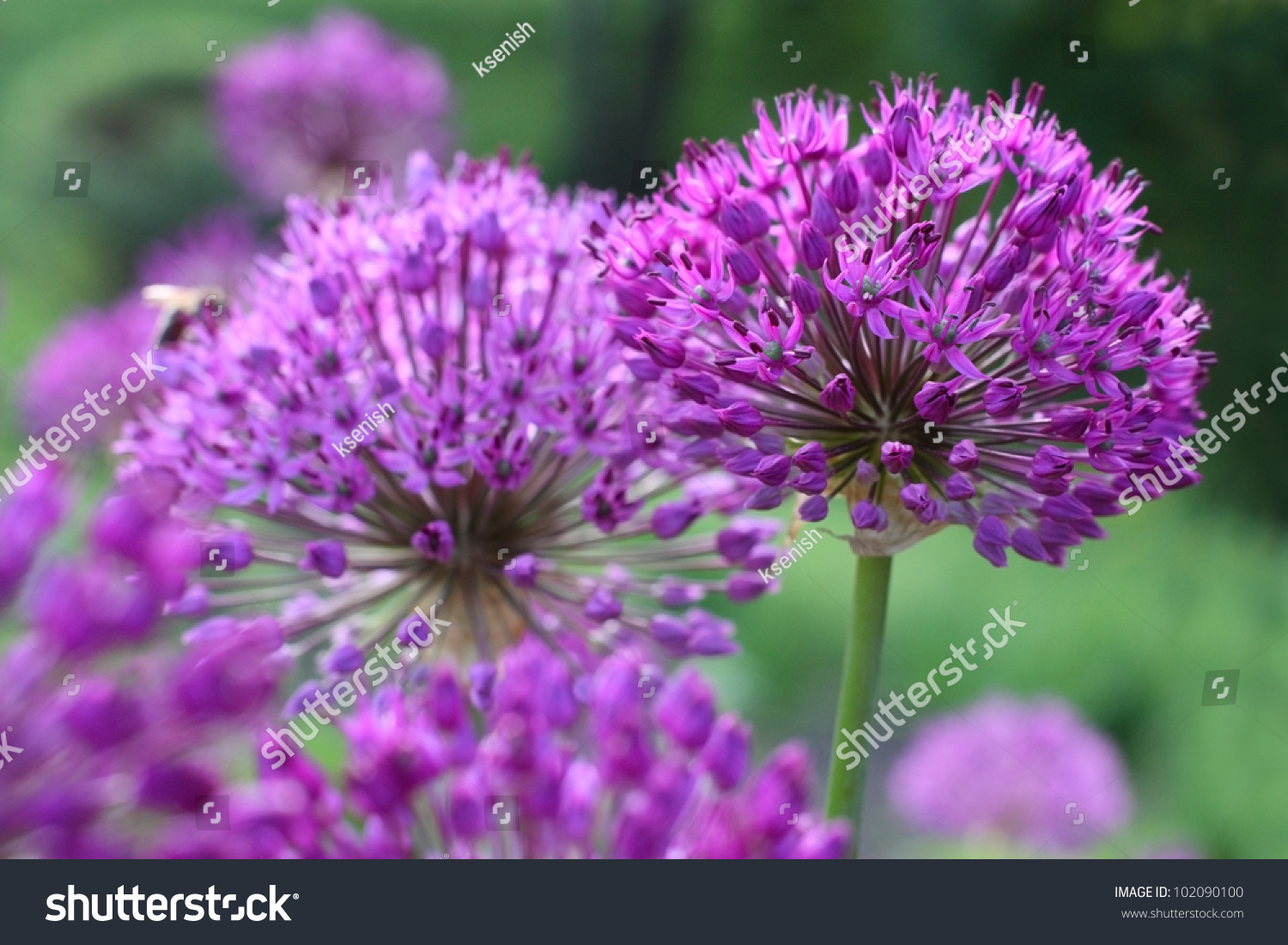 Many Round Shaped Blooming Purple Onion Stock Photo Edit Now