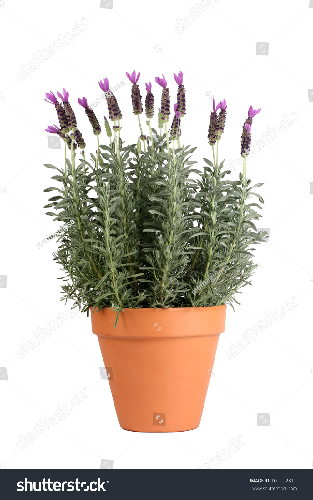 Lavender plant in pottery pot stock photo 102092812 shutterstock - Growing lavender pot ...