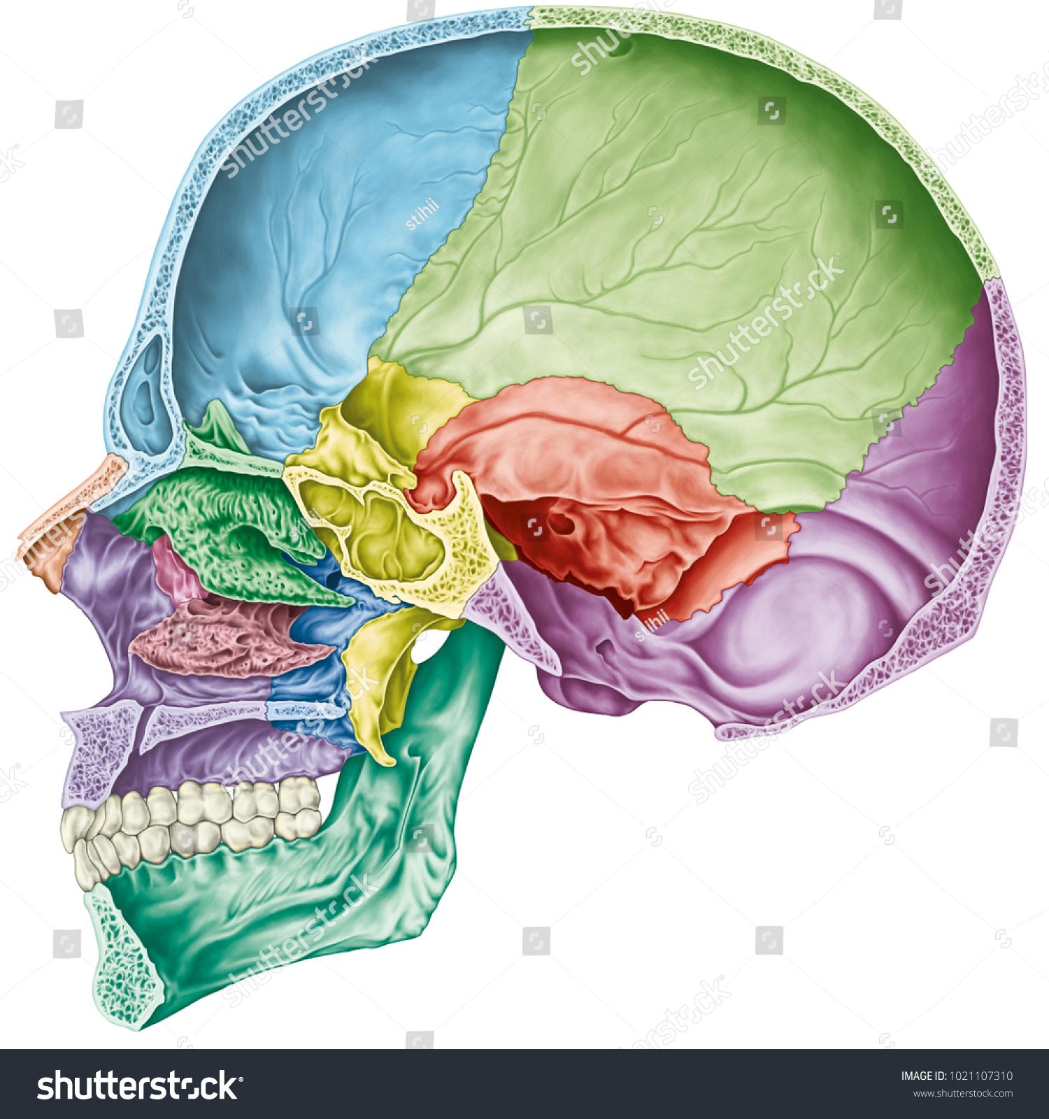 Cranial Cavity Bones Cranium Bones Head Stock Illustration