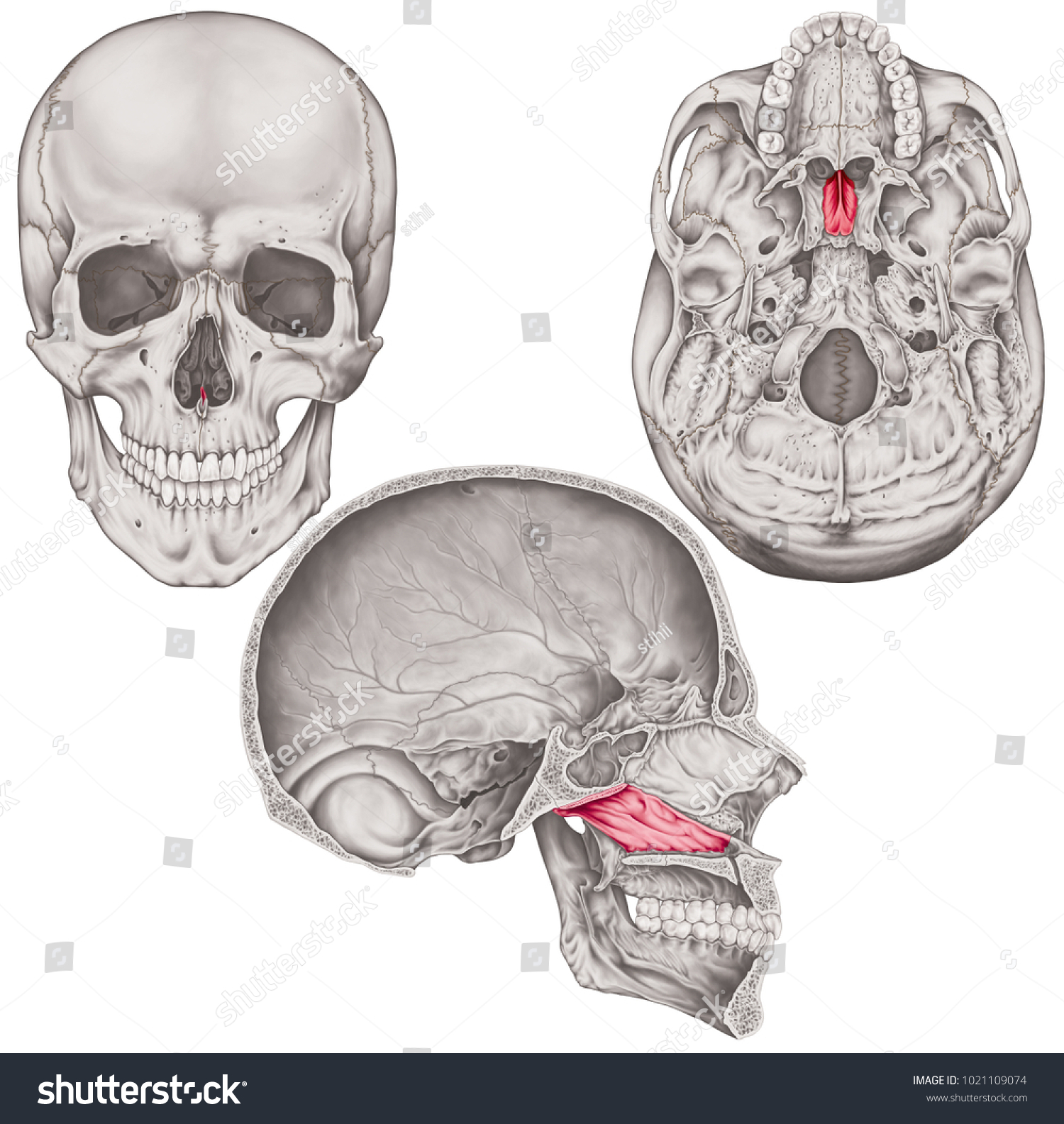 Vomer Bone Cranium Bones Head Skull Stockillustration 1021109074