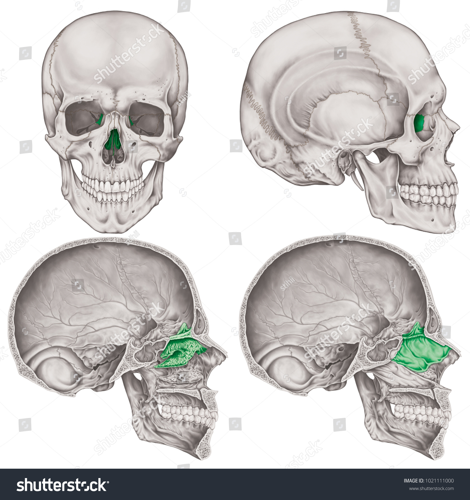 Ethmoid Bone Cranium Bones Head Skull Stock Illustration 1021111000 ...