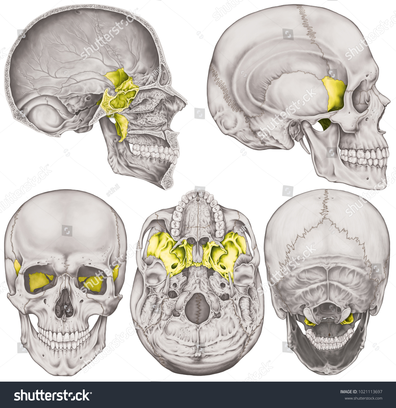 Sphenoid Bone Cranium Bones Head Skull Stock Illustration 1021113697 ...