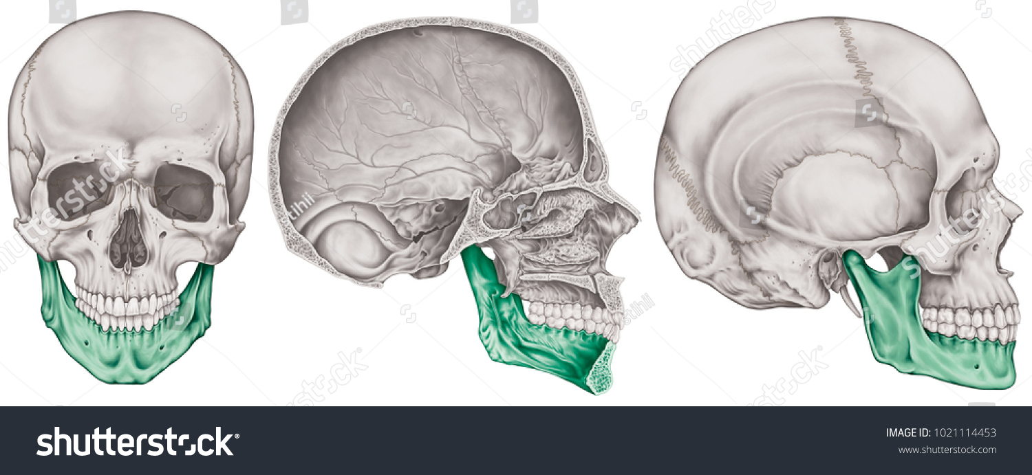 Mandible Bone Cranium Bones Head Skull Stock Illustration 1021114453 ...