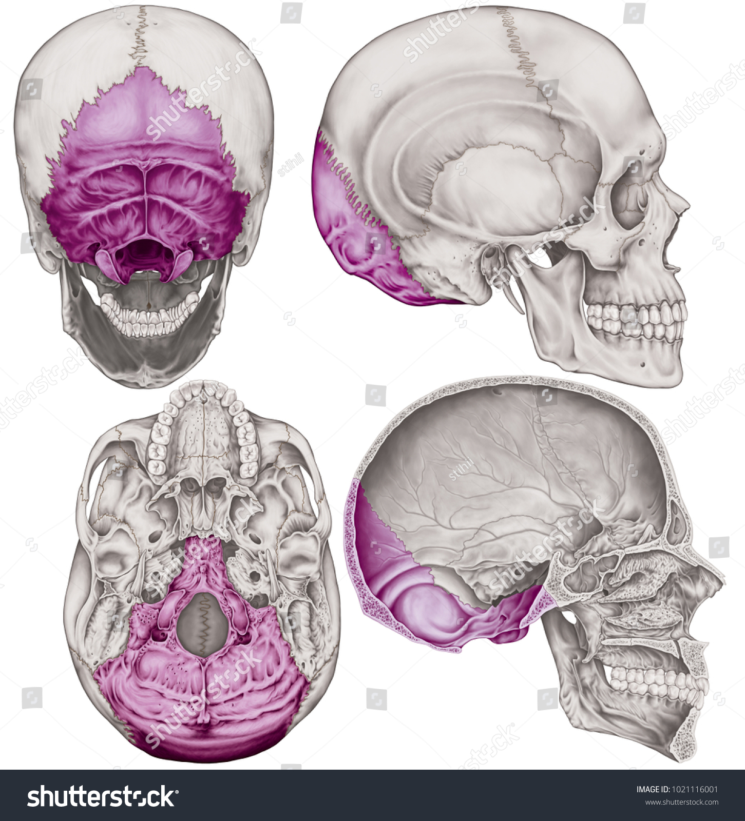 Occipital Bone Cranium Bones Head Skull Stock Illustration ...