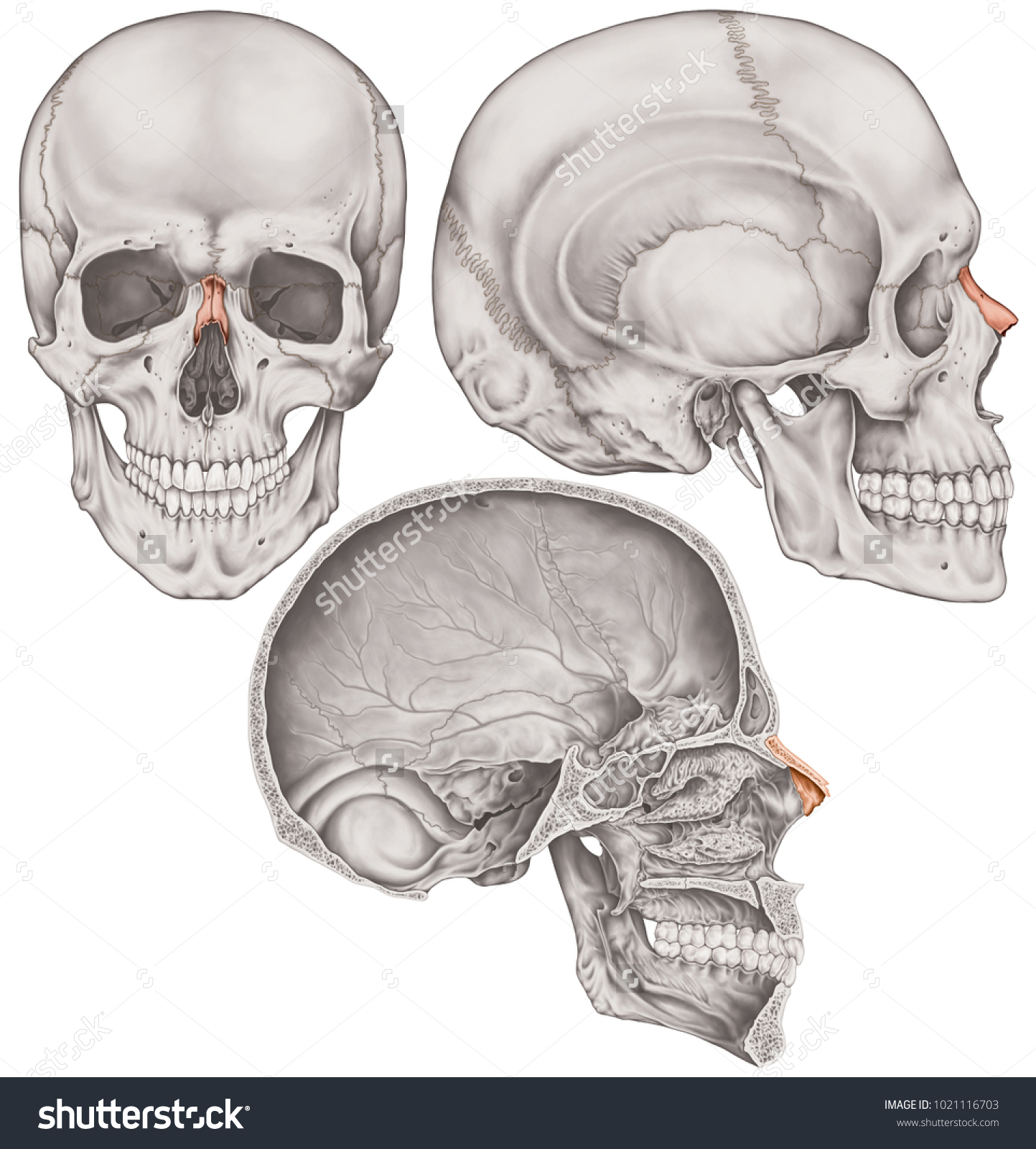 Nasal Bone Cranium Bones Head Skull Stock Illustration 1021116703 ...