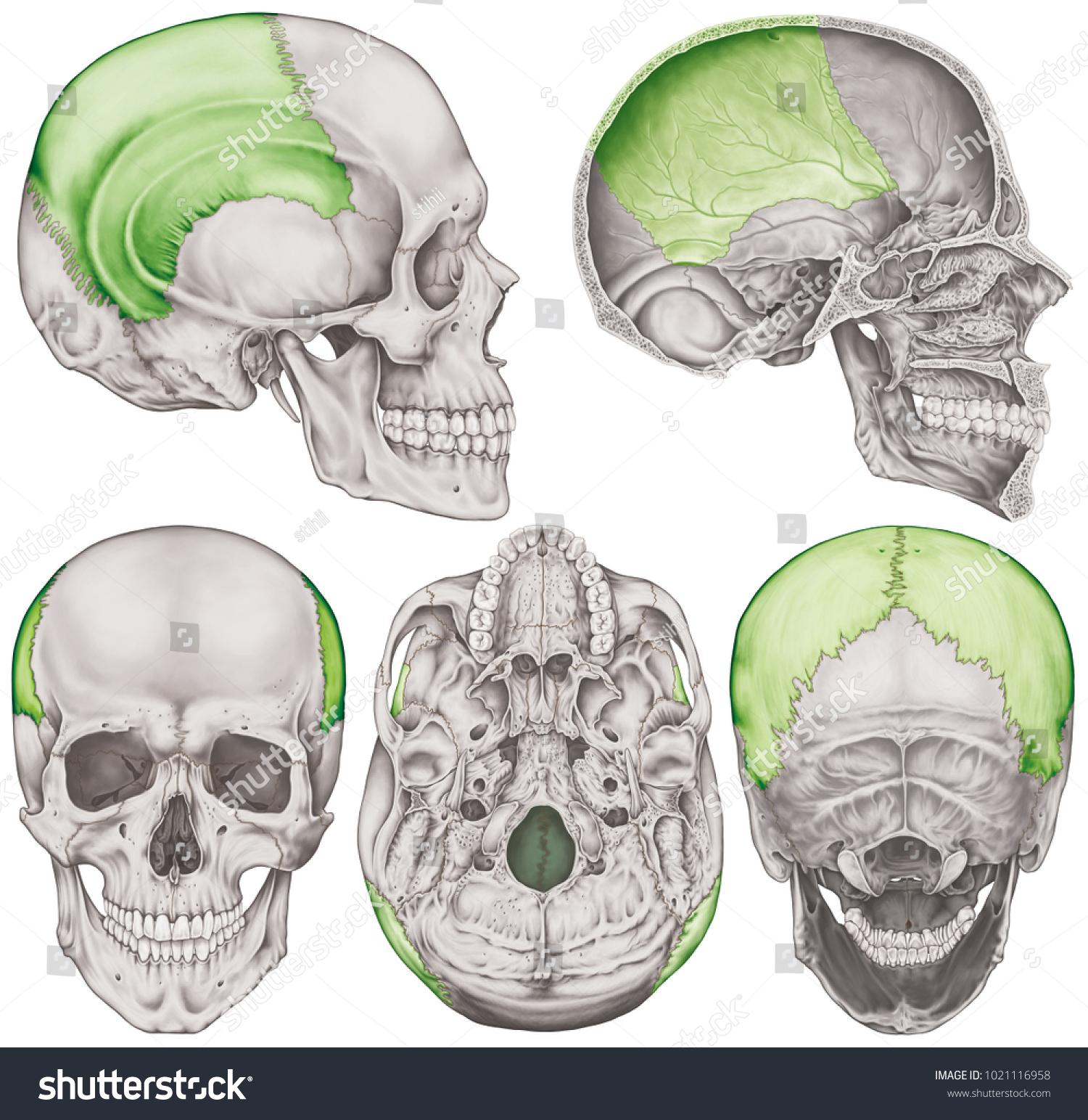 Parietal Bone Cranium Bones Head Skull Stock Illustration 1021116958