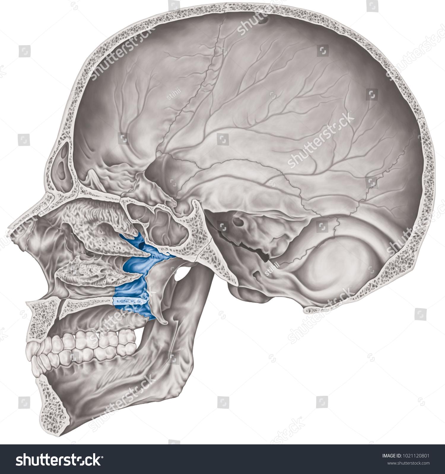Cranial Cavity Palatine Bone Cranium Bones Stock Illustration ...