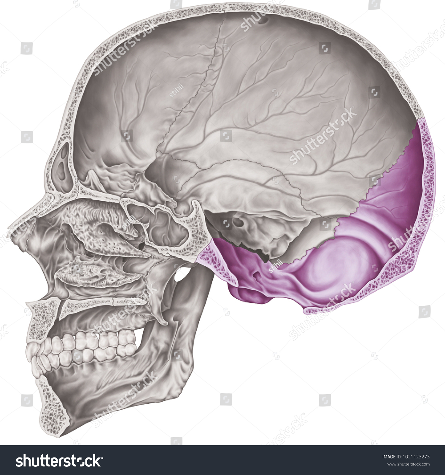 Cranial Cavity Occipital Bone Cranium Bones Stock Illustration ...