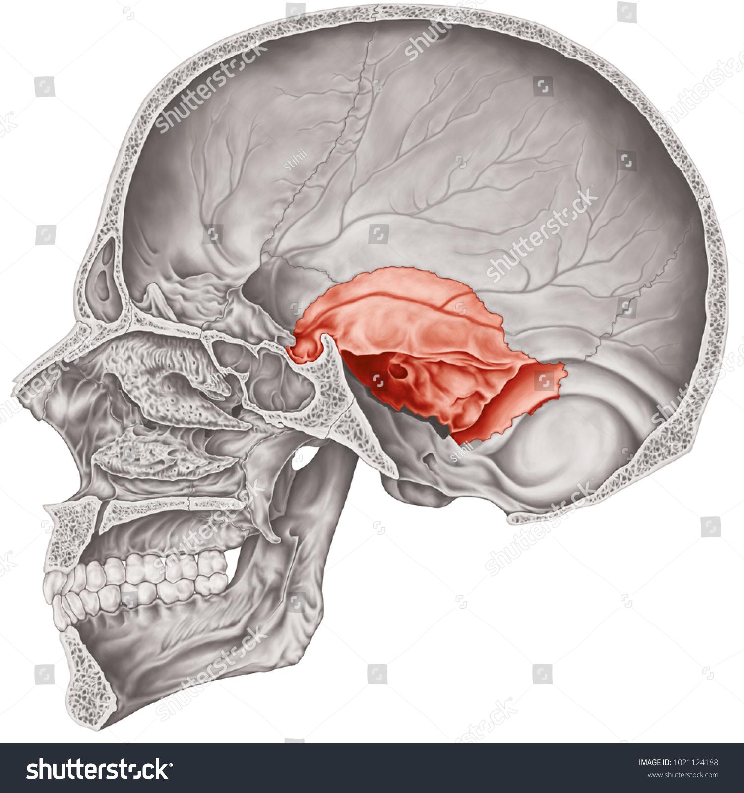 Cranial Cavity Temporal Bone Cranium Bones Stock Illustration ...