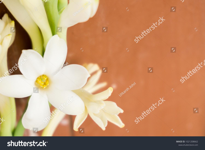 White Tuberose Flowers Stock Photo Edit Now Shutterstock