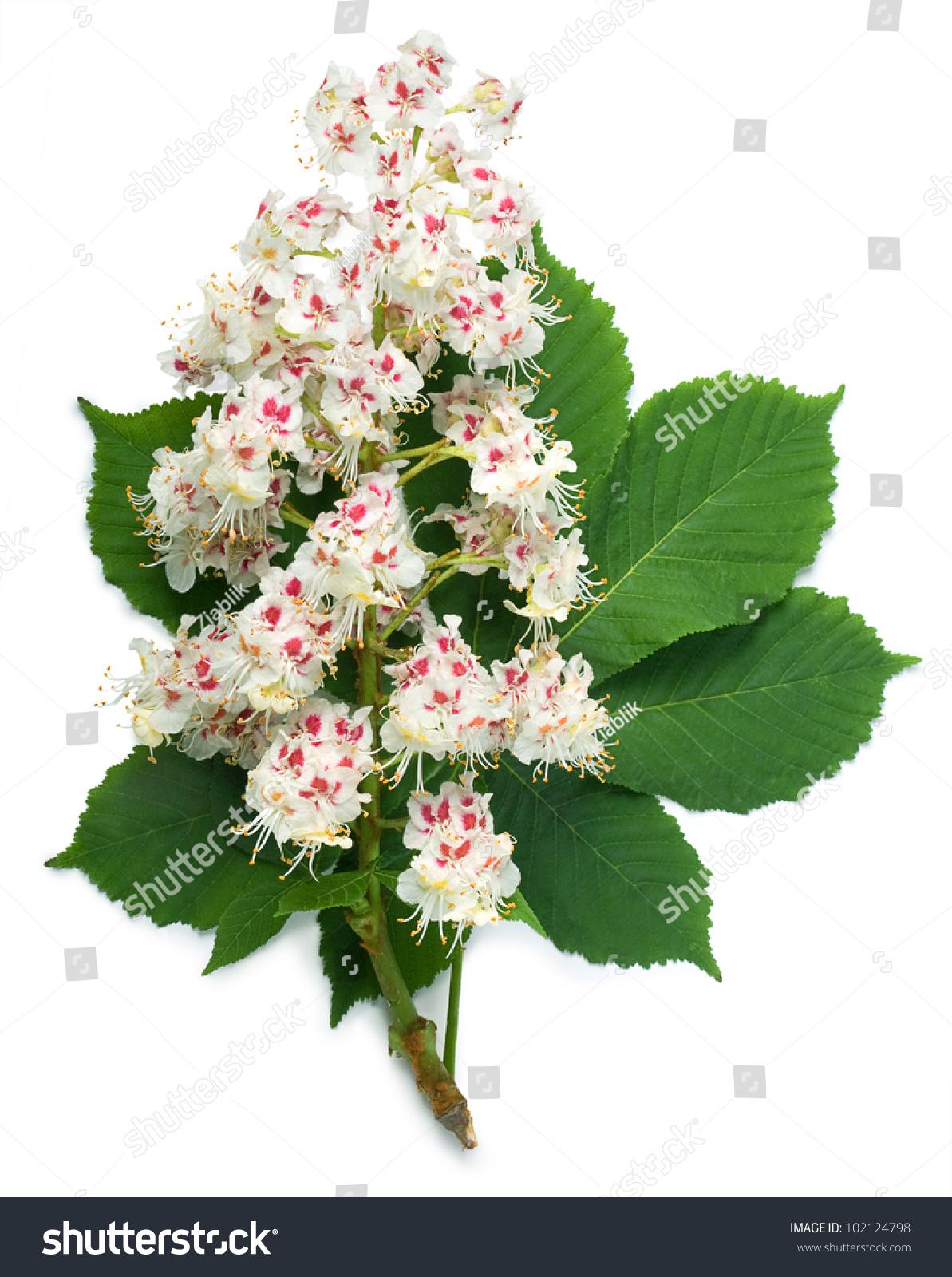 Horsechestnut Aesculus Hippocastanum Conker Tree Flowers Stock Photo
