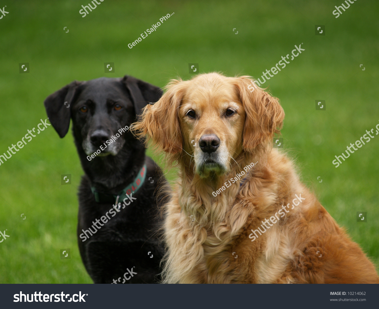 Popolare Black Lab Golden Retriever Dog Stock Photo 10214062 - Shutterstock HI55