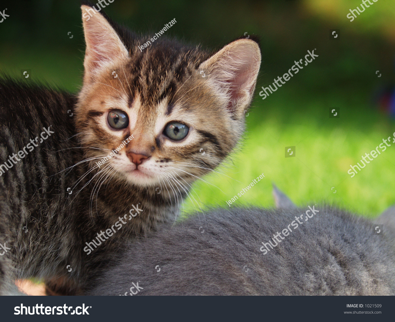 Grey Cat S Green Eyes Stock Shutterstock