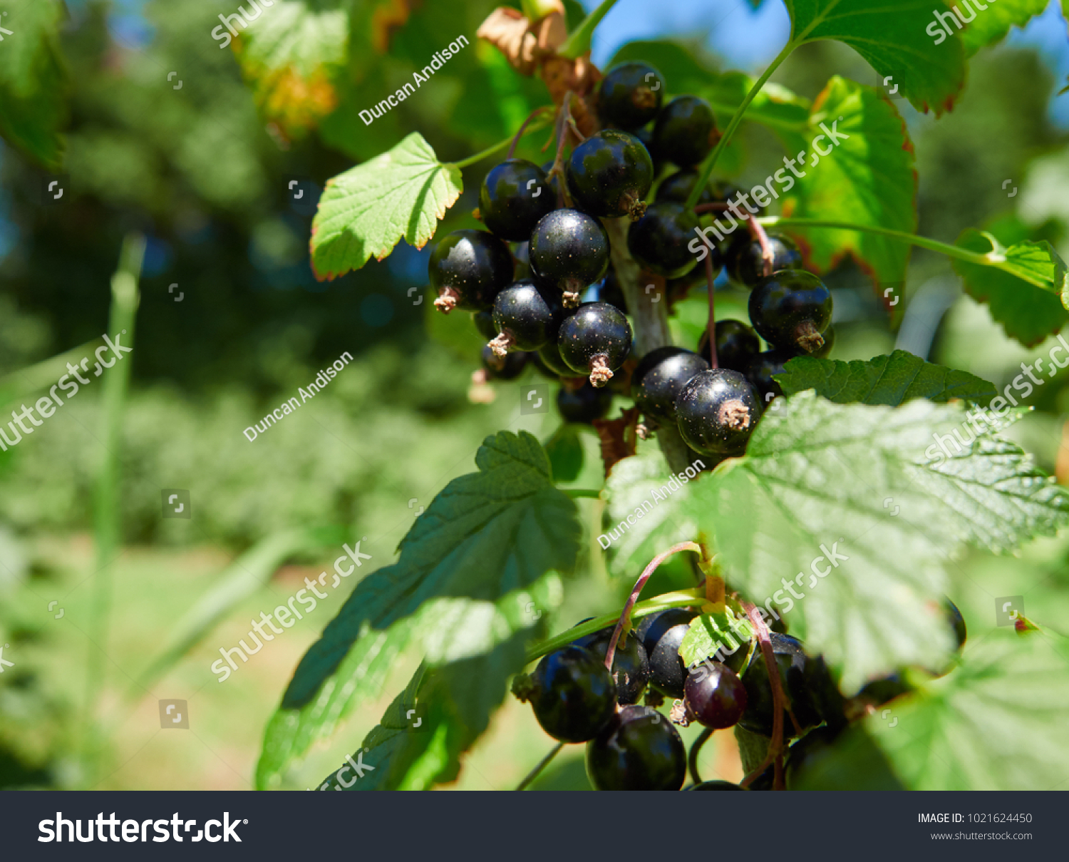 Blackcurrants Growing On Blackcurrant Bushes Pick Stock Photo (Edit