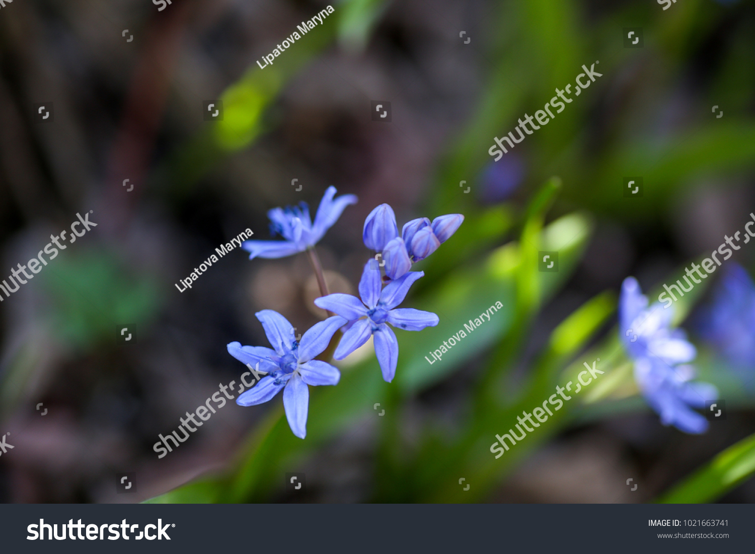 Blue Flowers Scilla Squill Blooming April Stock Photo Edit Now