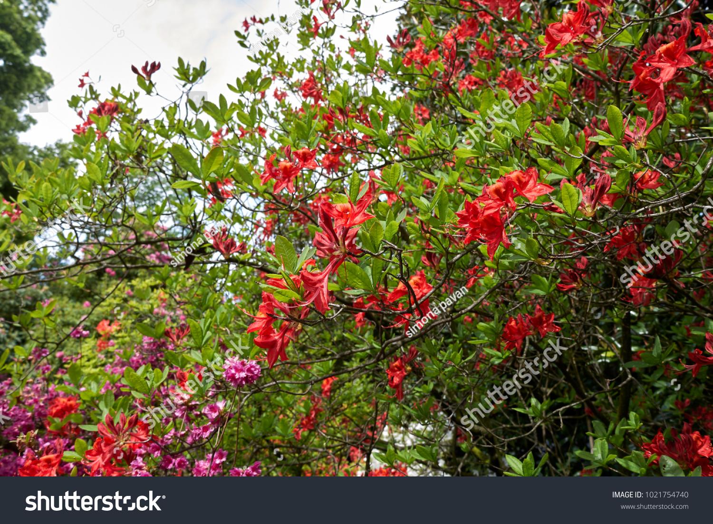 Evergreen shrub with red flowers ez canvas id 1021754740 mightylinksfo