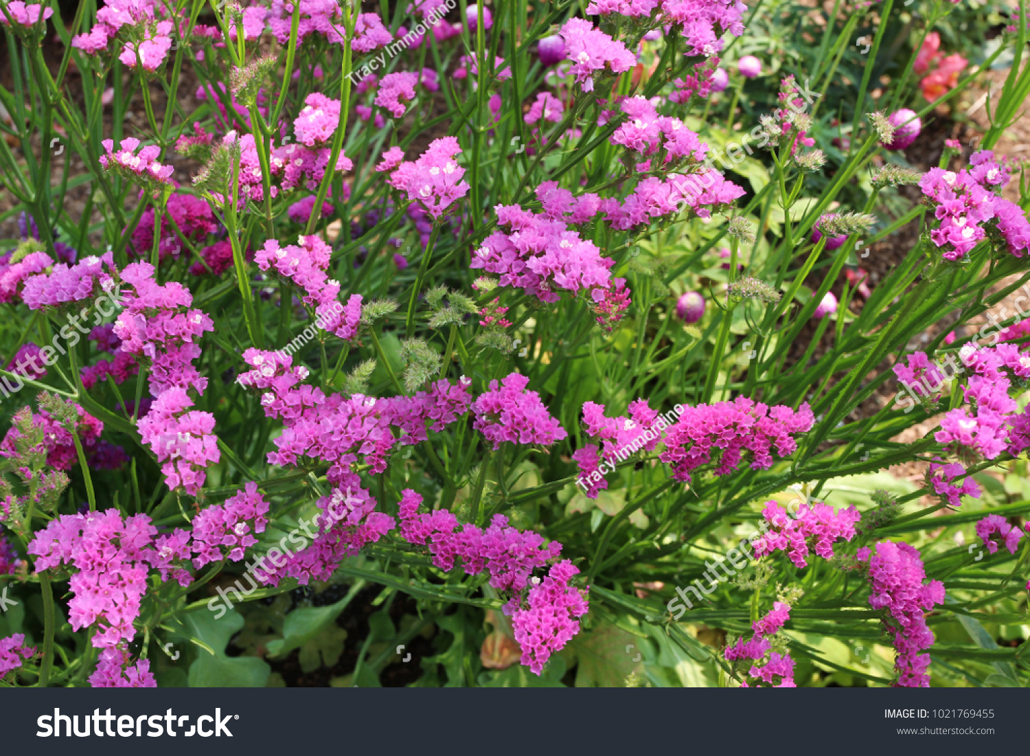 Close Cluster Pink Statice Flowers Growing Stock Photo Edit Now