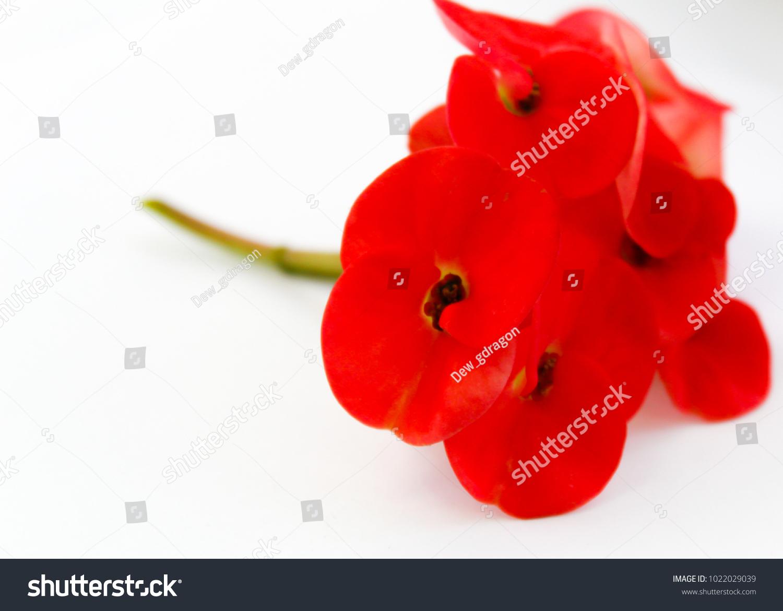 Crown Thorns Flower Christ Thorn Flower Stock Photo Edit Now