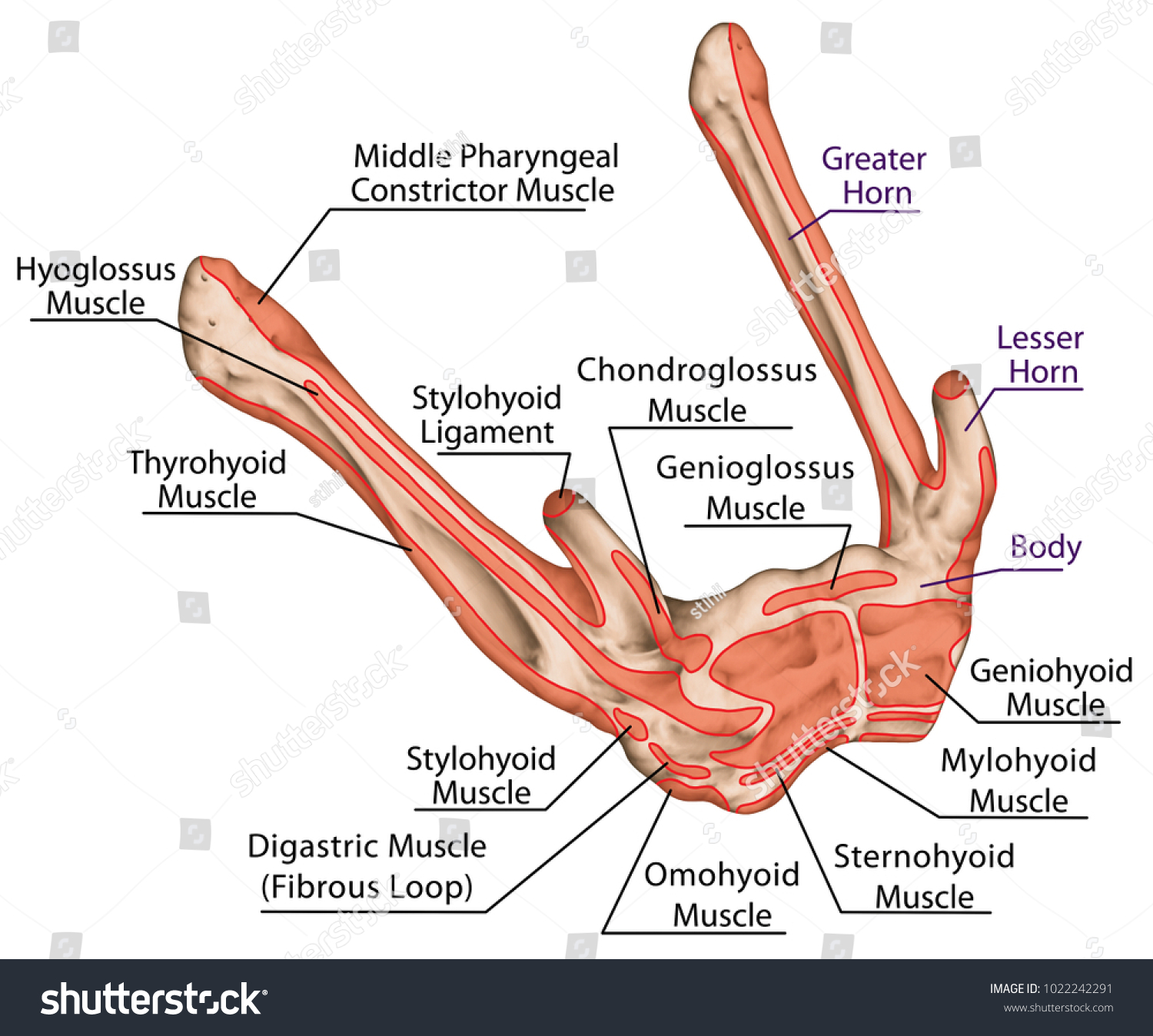 Origins Insertions Muscles Hyoid Bone Names Stock Illustration ...