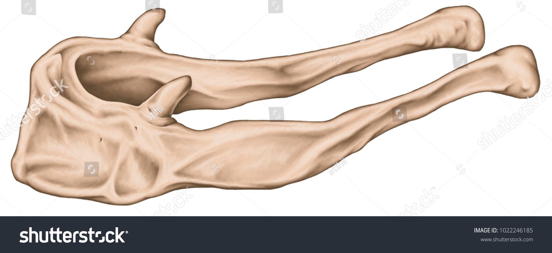 Anatomical Construction Hyoid Bone Human Skeletal Stock Illustration ...