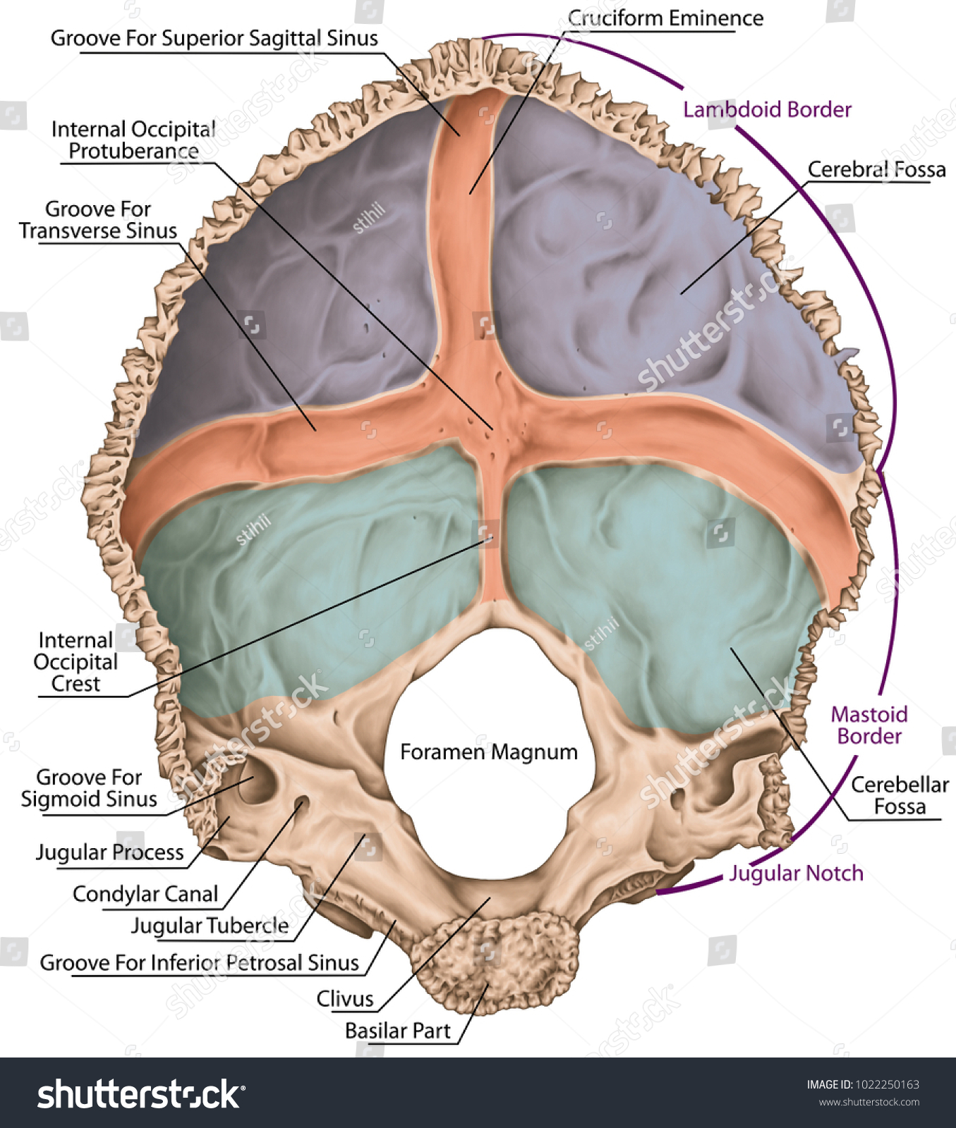 Occipital Bone Cranium Skull Groove Transverse Stock Illustration ...
