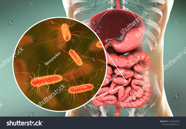 Intestinal Microbiome 3 D Illustration Showing Anatomy Stock ...