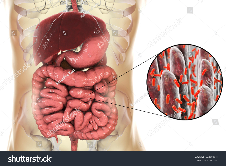 Intestinal Microbiome Anatomy Human Digestive System Stock ...