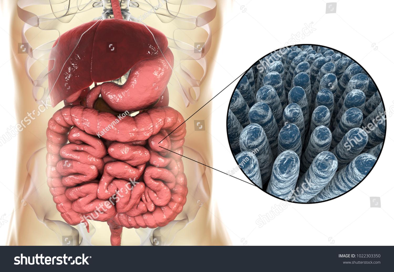 Royalty Free Stock Illustration of Intestinal Anatomy Histology 3 D ...