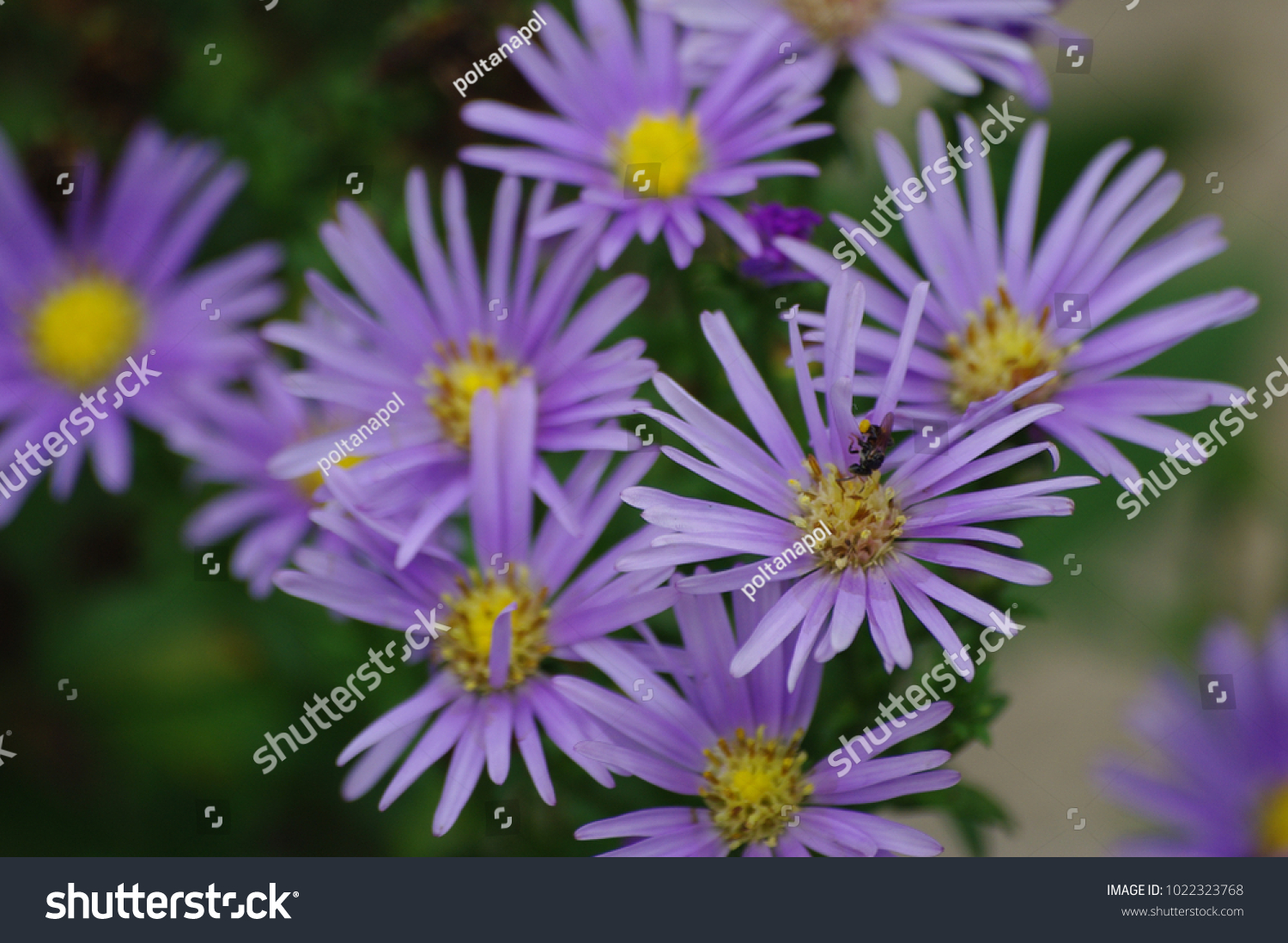 Purple Flowers Yellow Pollen Aster Amellus Stock Photo Edit Now