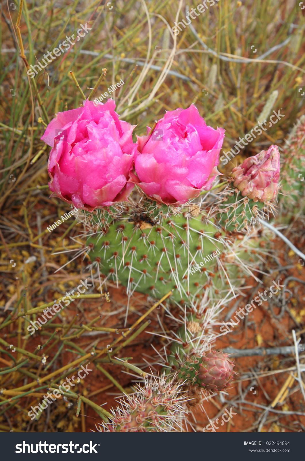 Beavertail Cactus Closeup Pink Flowers Bloom Stock Photo Royalty