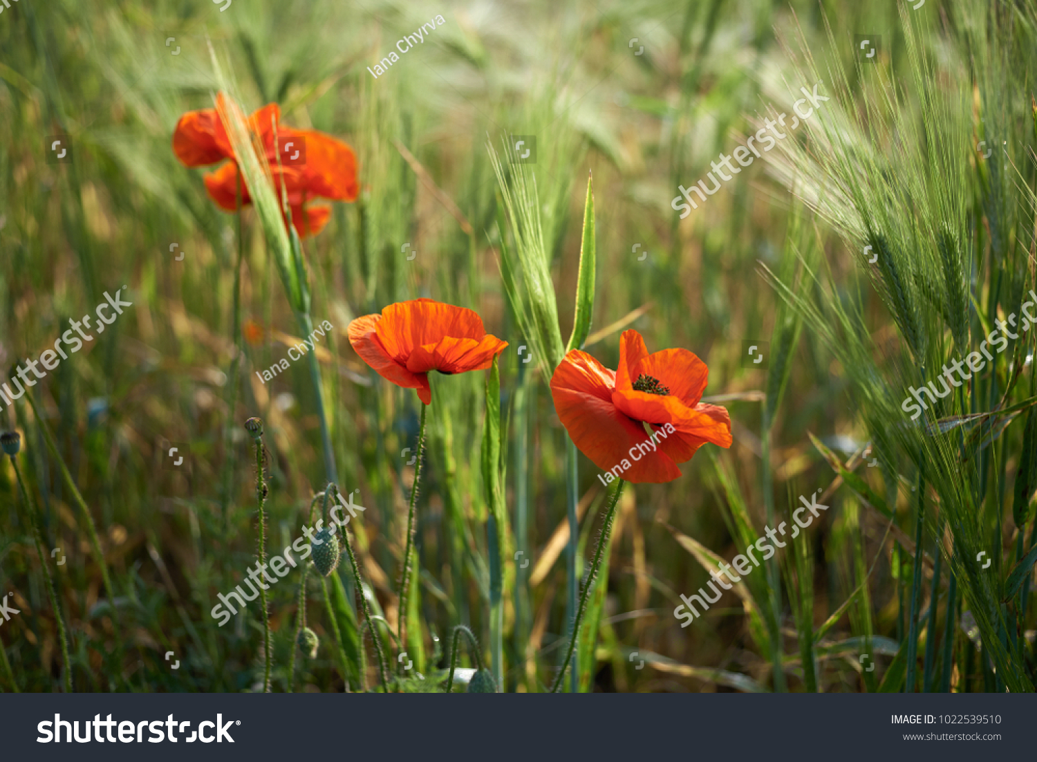 Summer Landscape Of A Filed With Poppy Flowers Of Red Color Ez Canvas