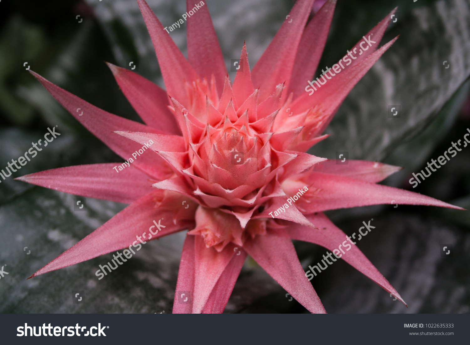 Macro Of Pink Aechmea Bromeliad Flower Ez Canvas