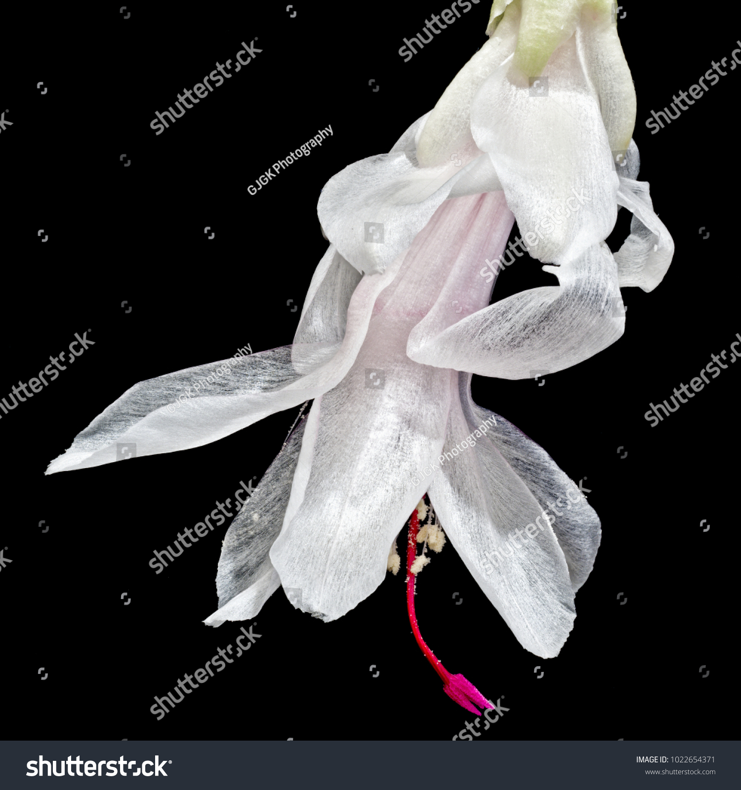 White Christmas Cactus Flower Using Photo Stacking Of About 25