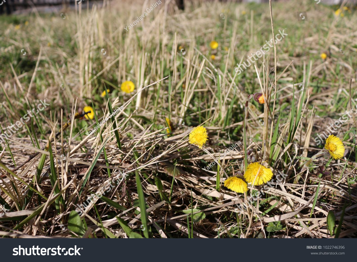 First Spring Flowers Coltsfoot Stock Photo Edit Now 1022746396