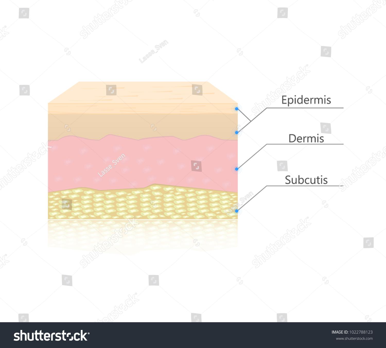 Skin Layers Vector Dermis Epidermis Subcutis Human Stock Vector ...