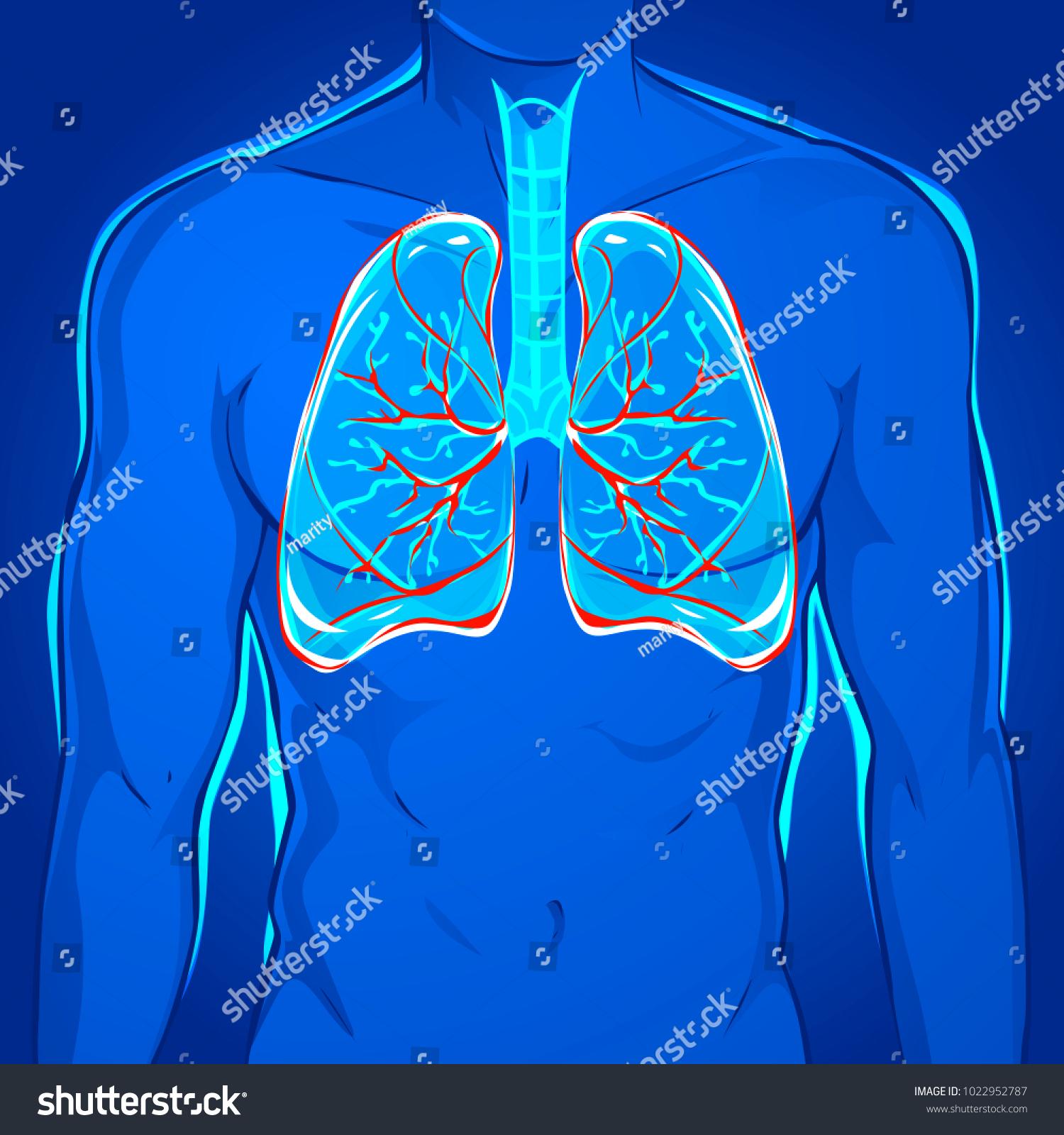 Human Body Lungs Stock Vector 1022952787 - Shutterstock