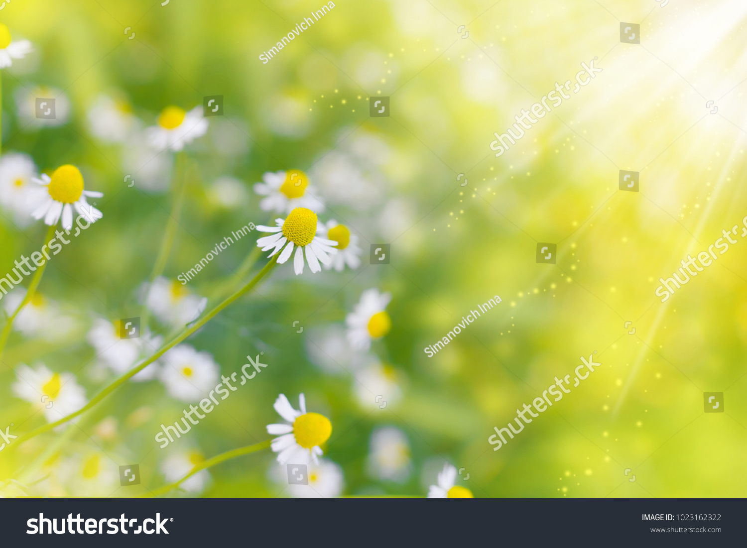 Chamomile Wild Daisies Spring Flowers Field Stock Photo Edit Now