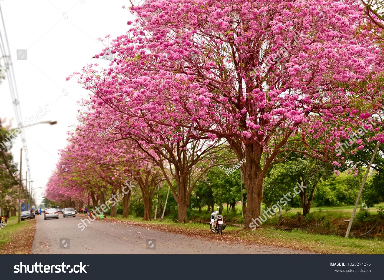 Pink Flower Tree Street Row Beautiful Road Stock Photo Edit Now
