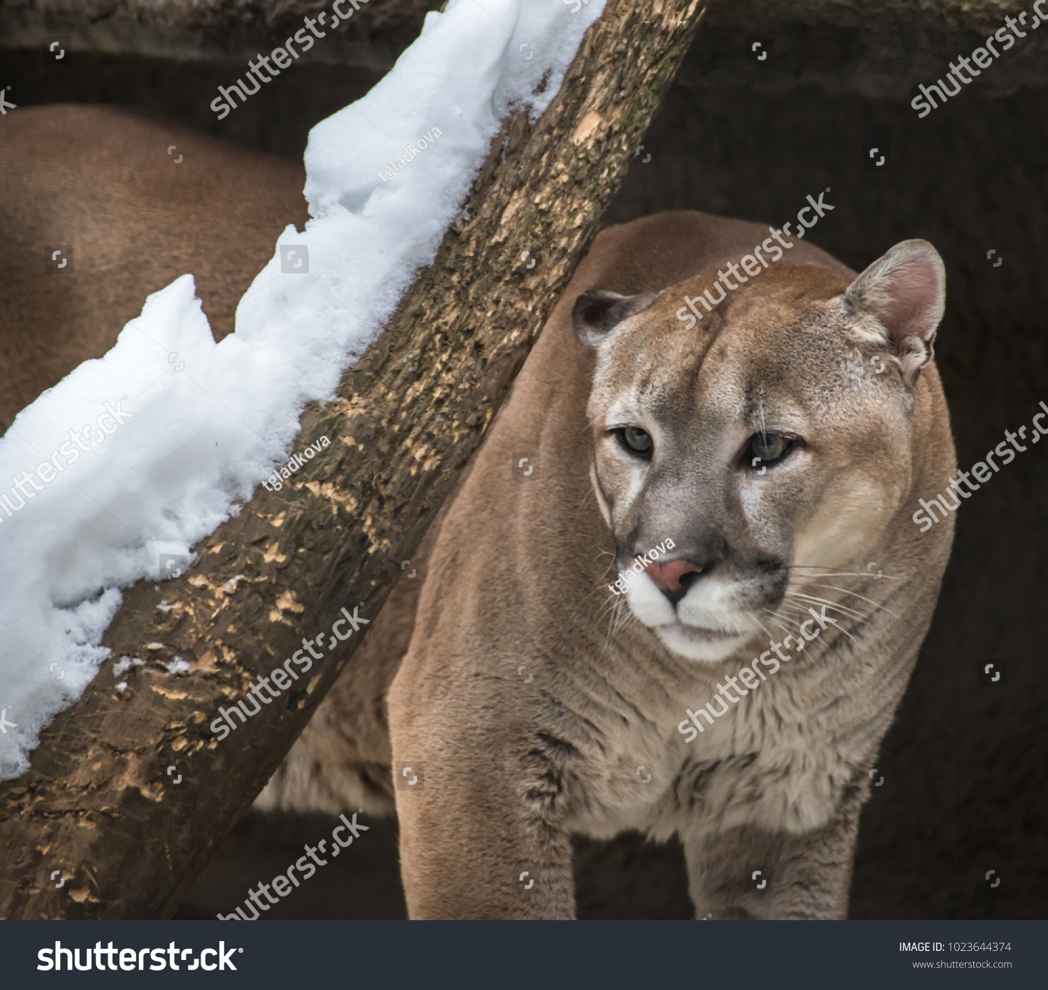 Puma Mountain Lion Cougar Fourth Largest Stock Photo (Edit Now ... b3f3d9ada5a6