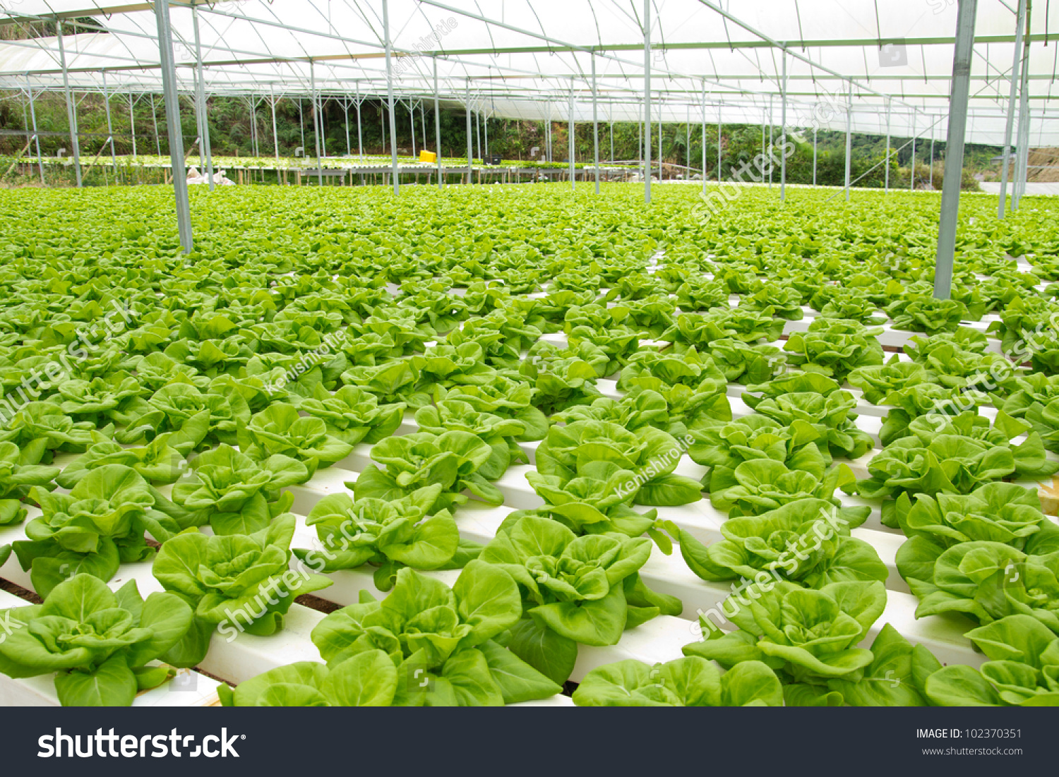 Organic Hydroponic Vegetable Garden Cameron Highlands Stock Photo