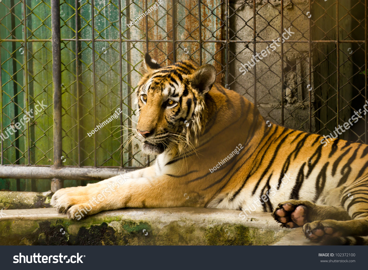 Tiger cage zoo stock photo 102372100 shutterstock - Tiger in cage images ...