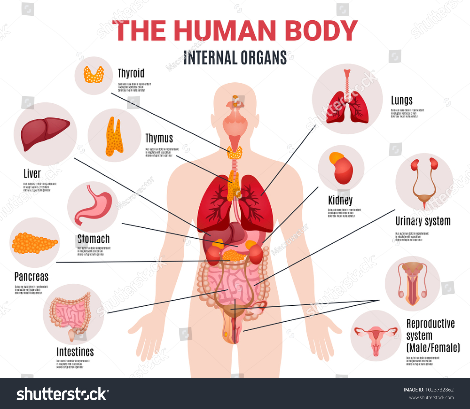Human Body Internal Organs Schema Flat Stock Vector 1023732862 ...