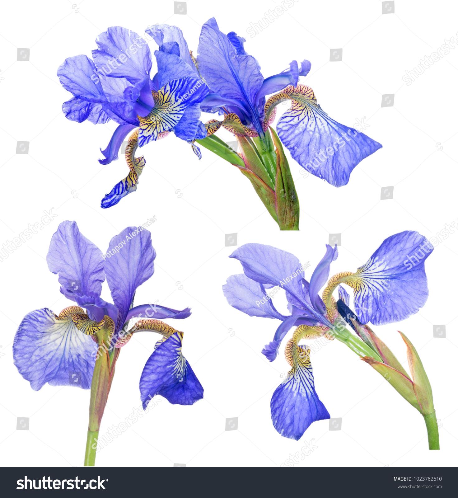 Blue Iris Flowers Isolated On White Background Ez Canvas