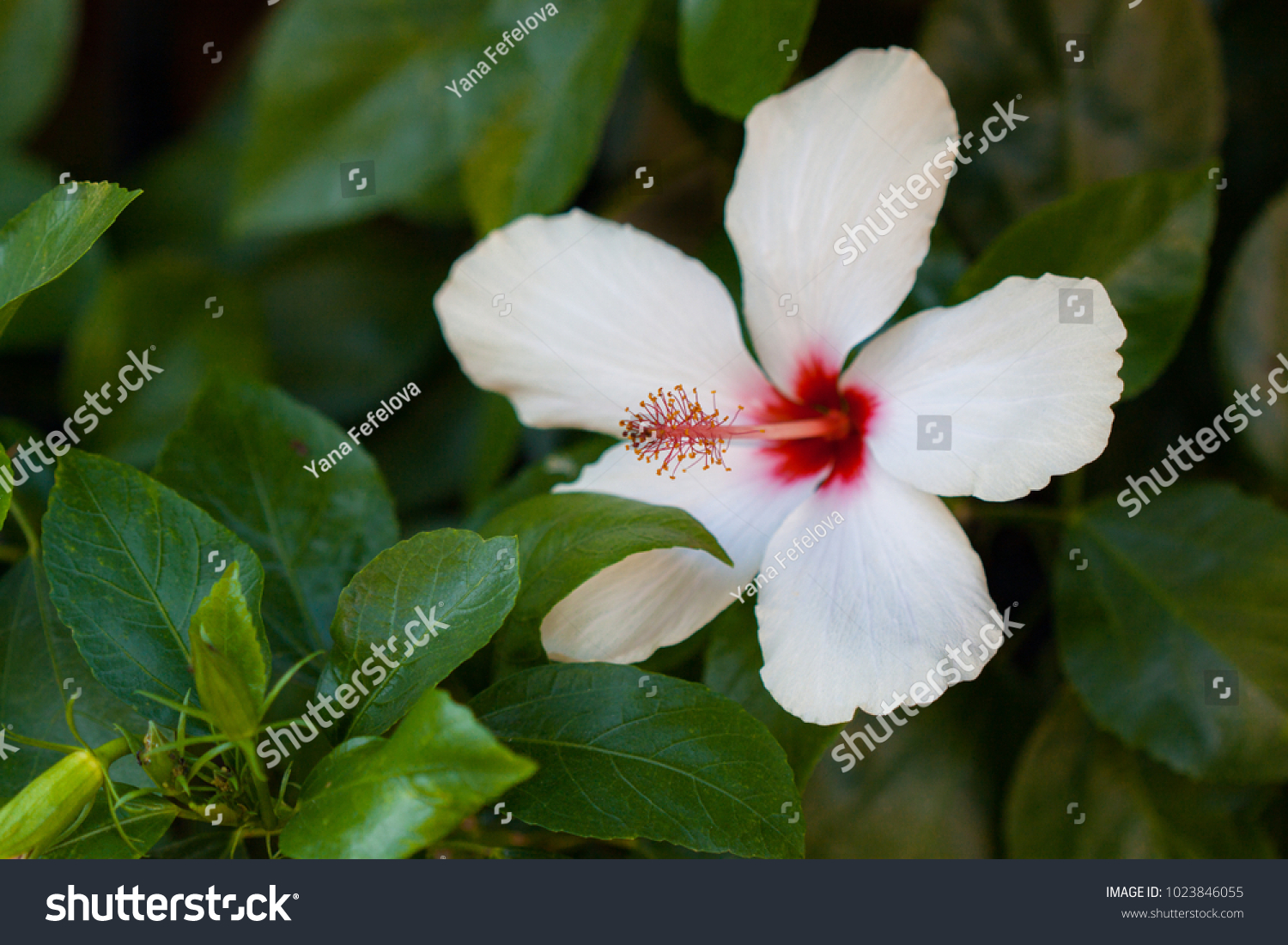 Beautiful White Big Hibiscus Flower Bee Stock Photo Edit Now
