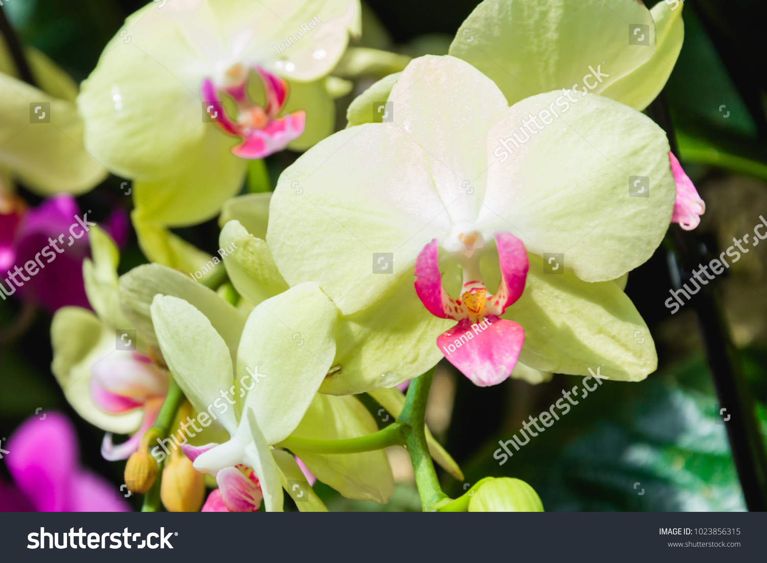 Beautiful Yellow Pink Orchid Flower Green Stock Photo Edit Now