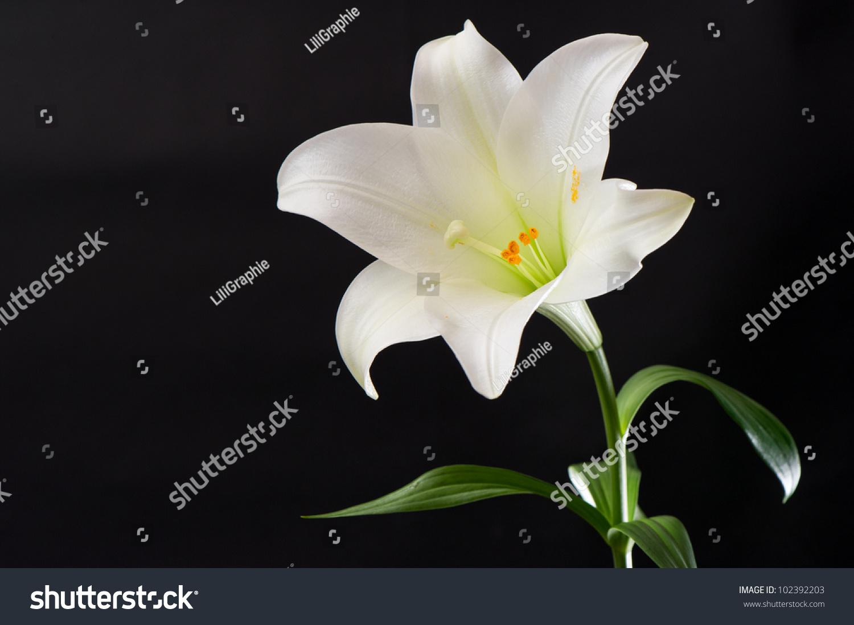 White Lily Flower On Black Background Stock Photo 102392203 ...