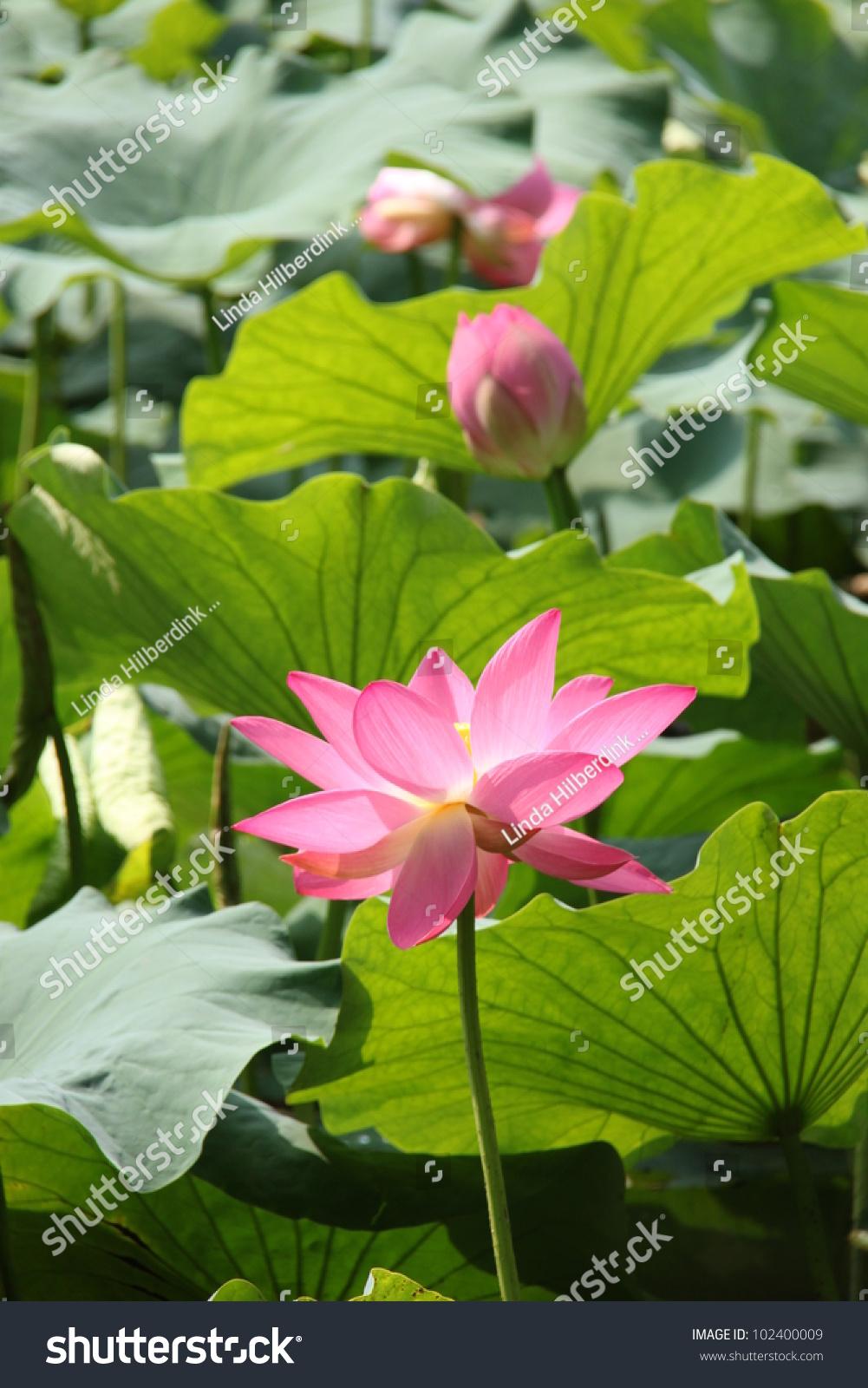 Lotus Flower Cui Hu Gongyuan Park Stock Photo Edit Now 102400009