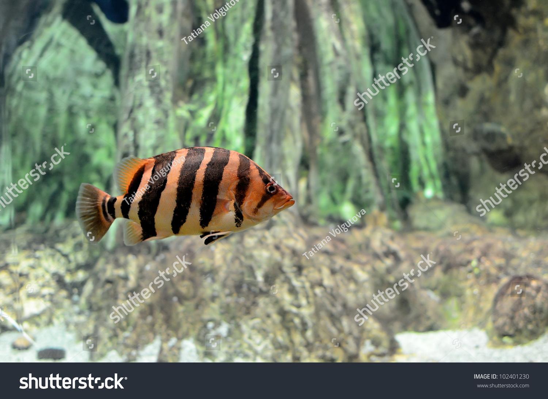 Striped tropical fish aquarium stock photo 102401230 for Tiger striped fish