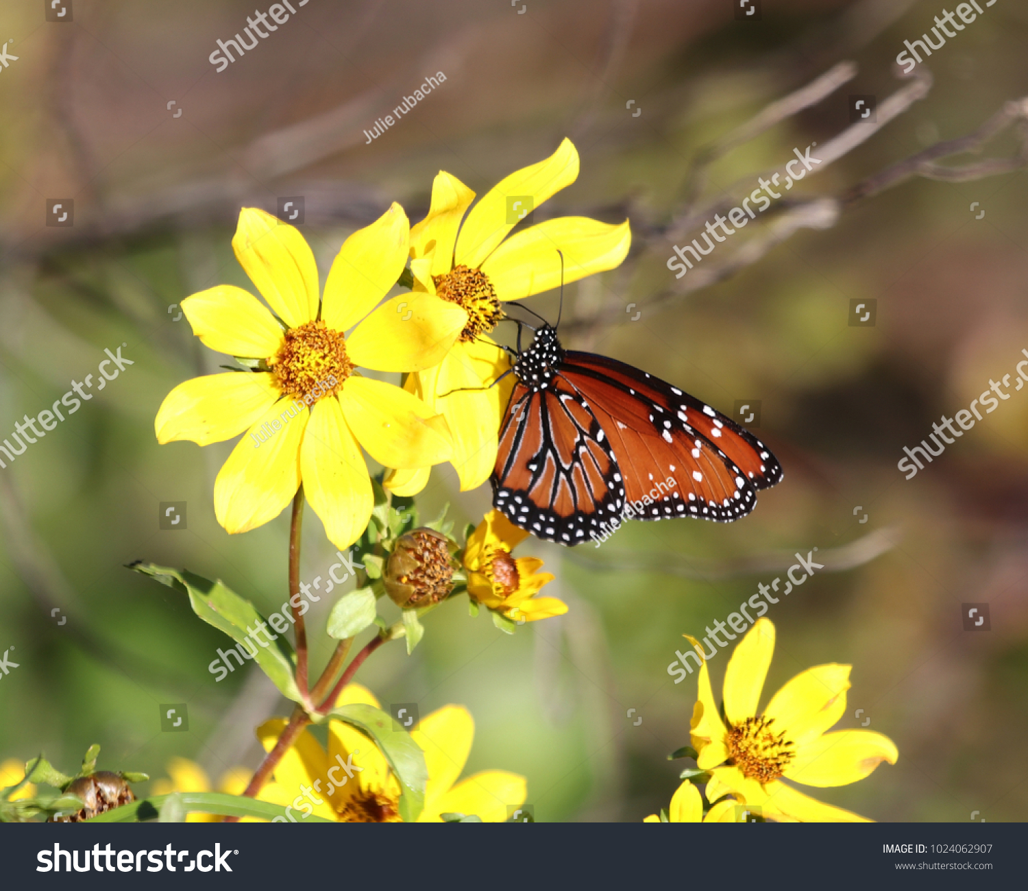 Queen Butterfly Danaus Gilippus On Yellow Flowers During Winter In